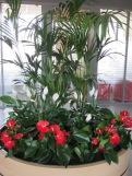 Plantes ornementales beaucarnea